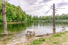 Weißer Hund, der in das Wasser trinkt und geht Stockfotos