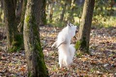 Weißer Hund, der in den Park springt Lizenzfreie Stockbilder