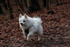 Weißer Hund, der in den Wald läuft Stockfotografie