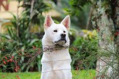 Weißer Hund, der hinter dem Zaun anstarrt Lizenzfreie Stockbilder