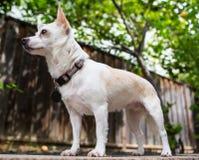 Weißer Hund, der hoch steht lizenzfreie stockfotografie