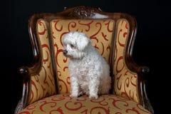 Weißer Hund, der im Weinleselehnsessel sitzt lizenzfreie stockbilder