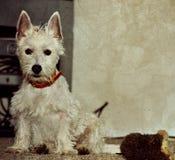 Weißer Hund, der neben Spielzeug sitzt stockbilder