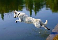 Weißer Hund, der in Wasser springt lizenzfreie stockfotos