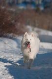 Weißer Hund in einem Winter im weißen Wald Stockbilder