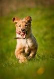 Weißer Hund (hovawart) stockfoto