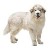 Weißer Hund Husky Puppy, Welpe lokalisiert über weißem Hintergrund Stockfotografie