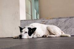 Weißer Hund mit den schwarzen Ohren, die auf dem Boden draußen liegen stillstehen stockfotos