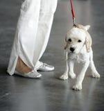 Weißer Hund mit roter Leine Lizenzfreie Stockfotos