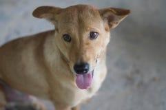 Weißer Hundeoffener Mund und -zunge Stockfoto