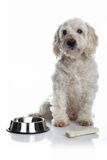 Weißer hungriger Hund Stockfoto