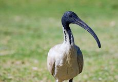 weißer IBIS-Vogel Stockfotos