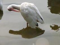 Weißer IBIS-Vogel Stockbilder
