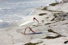 Weißer IBIS-Vogel auf Strand nahe Wasser Stockfotografie