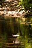 Weißer IBIS-Vogel, der in das Wasser geht Stockfotografie
