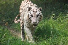 Weißer indischer Tiger geht durch eine offene Wiese Stockbild