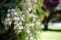 Weißer Japaner Andromeda Pieris Japonica Hanging Flowers Lizenzfreie Stockbilder