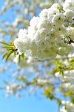 Weißer Japaner Kirschblüte Lizenzfreies Stockfoto