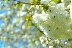 Weißer Japaner Kirschblüte Stockbild