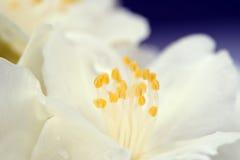 Weißer Jasmine Flower Macro lizenzfreie stockbilder