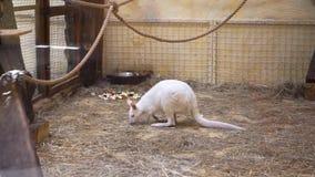 Weißer Känguru ist am Zoo stock video