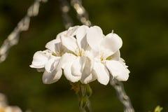 Weißer Kirschblütenabschluß herauf Foto lizenzfreies stockfoto