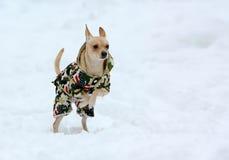 Weißer kleiner aktiver Hund in der Kleidung im Schnee Lizenzfreies Stockfoto