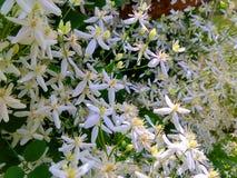 Weißer kleiner Blumenbusch Stockbild