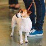 Weißer kleiner Hundesteckfassungs-Russell-Terrier Lizenzfreies Stockfoto
