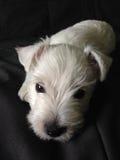 Weißer kleiner Welpe, der auf dunkles Sofa legt Stockfoto