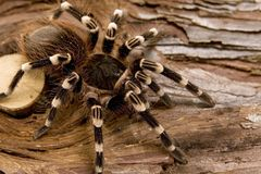 Weißer Kneed Tarantula Stockfotos