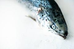 Weißer konkreter Hintergrund der frischen Lachsfische bereitete sich für die Archivierung vor Kopieren Sie Raum, Draufsicht lizenzfreie stockfotos