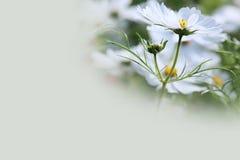 Weißer Kosmos-Blumen-Hintergrund Stockfotografie