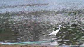 weißer Kran, der nahe dem Ufer geht stock video footage