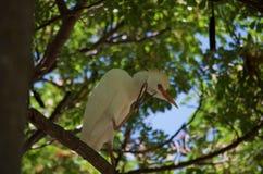 Weißer Kran in einem Baum Stockfotos