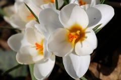 Weißer Krokus mit gelber Mitte im Frühjahr Lizenzfreie Stockfotografie