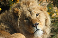 Weißer Löwe Lizenzfreie Stockfotografie