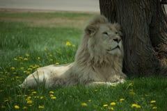 Weißer Löwe Lizenzfreie Stockbilder