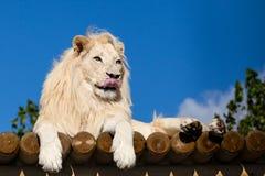 Weißer Löwe auf hölzerner Plattform Wekzeugspritze leckend Lizenzfreie Stockfotos