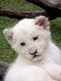 Weißer Löwe Cub Lizenzfreie Stockbilder