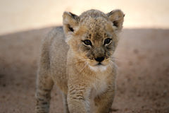 Weißer Löwe Cub Lizenzfreie Stockfotos