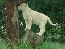 Weißer Löwe des Babys auf Baumstumpf in Afrika Lizenzfreies Stockfoto