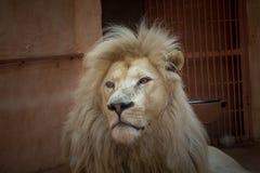 Weißer Löwe in einem Zookäfig Lizenzfreie Stockfotos