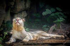 Weißer Löwe geschaut oben von fern, Stockbild