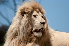Weißer Löwe im Ruhezustand Stockbild