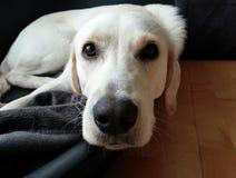 Weißer Labrador-Hund Lizenzfreie Stockfotografie