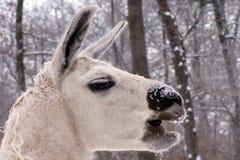Weißer Lama stockfotografie