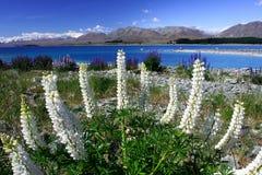 Weißer Lavendel durch See Tekapo lizenzfreie stockbilder
