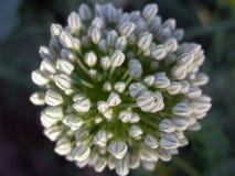 Weißer leichter Blütenstand Stockbild
