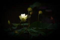 Weißer Lotos-Blume Lizenzfreies Stockfoto